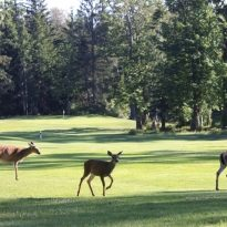 Three deer on a beautiful golf course in a pristine forest. A doe and two fawns walking across a pretty golf course in British Columbia, Canada. Wildlife is common in courses in this western Canadian province. The animals love the grass and it is important for turf managers to restrict chemical uses in these environments. One of the benefits of playing golf is enjoying the many birds and animals that reside on the courses.